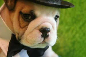 english bulldog pup