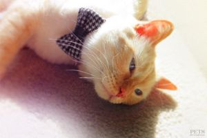 houndstooth cat bow tie